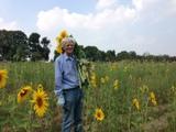 Sonnenblumenernte